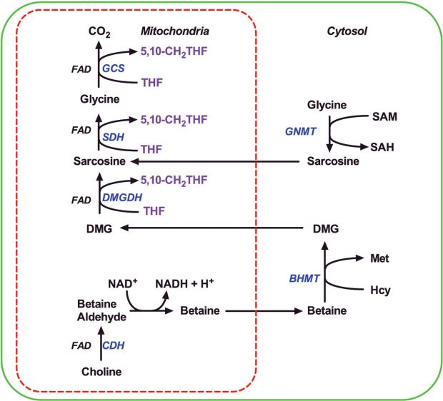 Betaine methyl groups